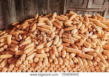 Corn on cob, pile of corn, cornmeal, maize, ripe corn, dried corn