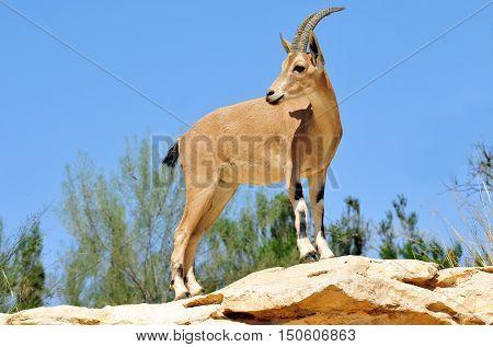 Wildlife Photos - Ibex