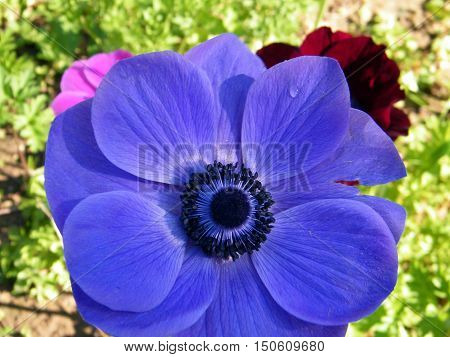The Blue Crown Anemone in park of Ramat Gan Israel February 6 2011