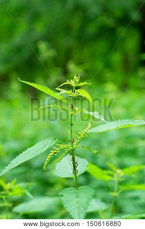green stinging nettles and ants on it