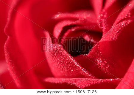flora, flowers, plant, rose, rose red, rod rose, summer, flower