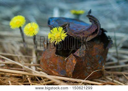 Yellow flowers growing up in an old tin can in the spring