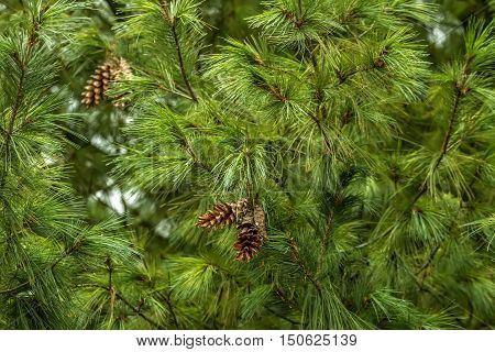 Tree With Cones Growing In The Park