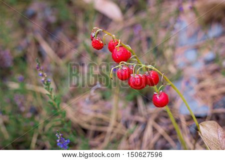 Red Berries Of Lily-of-the-valley On Forest Ground