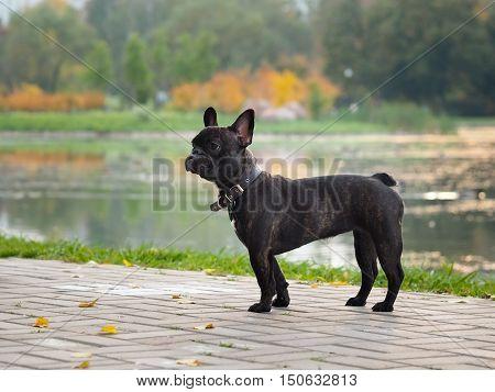 Dog French Bulldog wearing a collar. City park autumn pond.