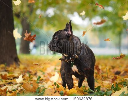 Black dog in a park amongst autumn leaves. leaf fall