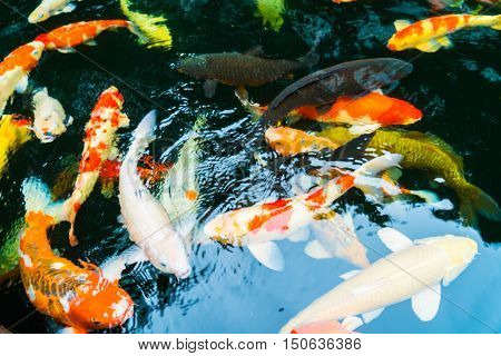 Colorful Koi fish swimming in water