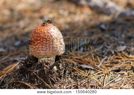 Small Mushroom Growing Out Of The Ground Around The Pine Needles