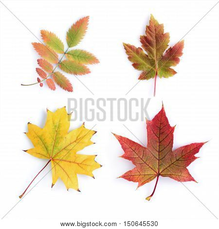 Collection of colorful autumn eaves isolated on white background
