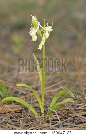 Roman Orchid - Dactylorhiza romana Whole plant in Cyprus Pine Forest