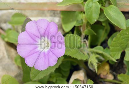 Mallow-leaved Bindweed - Convolvulus althaeoides Pink Flower