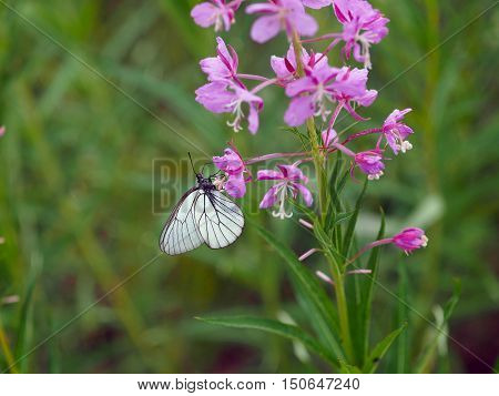 Aporia Crataegi is butterfly of the family Pieridae