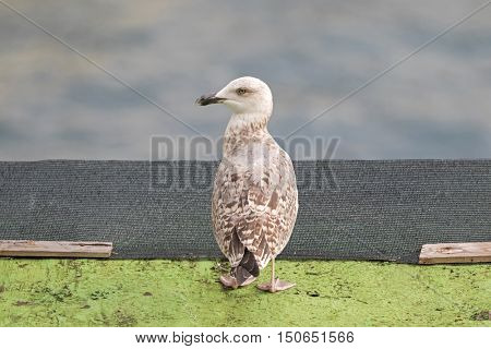 Juvenile European herring Gull in white and brown standing with blurred Mediterranean Sea in Italy, southern Europe