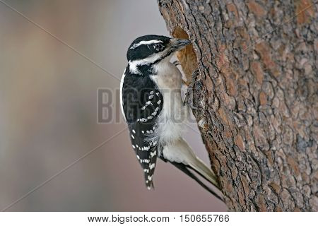Hairy Woodpecker female at hole of pine tree