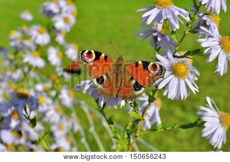 European Peacock (Aglais io) butterfly found in Europe and temperate Asia sitting on chamomile bloom.
