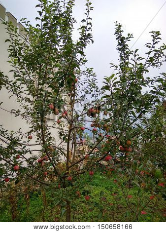sunny day garden with fruit trees with red apples