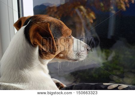 Dog Jack Russell Terrier sunbathing on the window. Dog watch over world through the window.