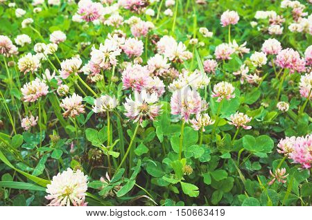 Trifolium Pratense Or Red Clover Flowers