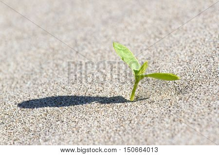 Plant sprouting in the desert Sahara. Seedling sand background