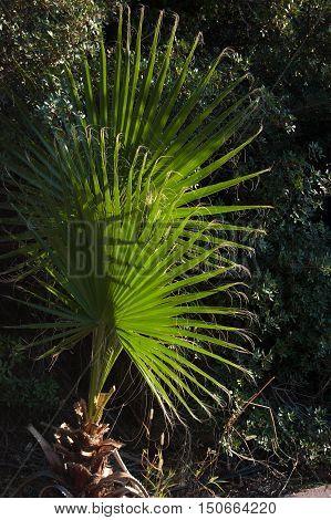 Washingtonia filifera palm tree macro photography background