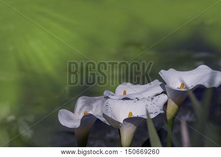 White calla lily with dew drops soft