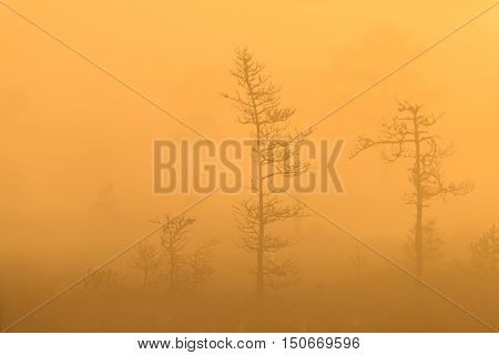 Bog pines in the morning fog with sunrise light