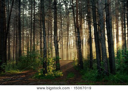 sunset in the foggy forest