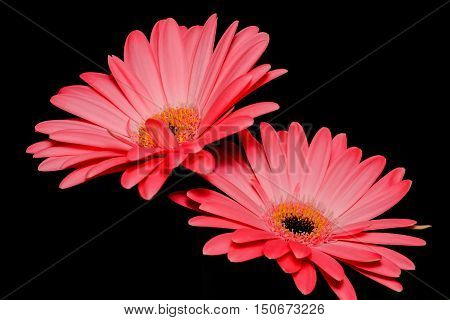 Two pink daisy flowers shot with flash in studio environment with black background.