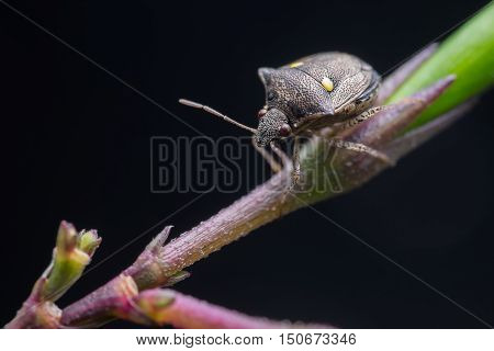 A stink bug with yellow dot is looking for food on a branch at night.