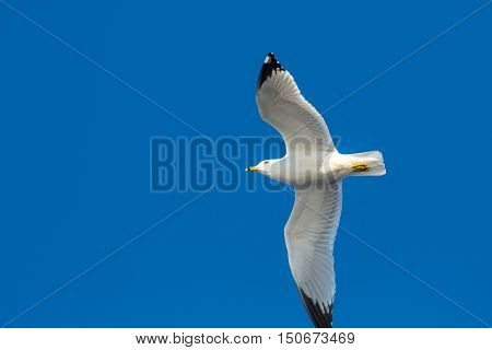 A ring-billed gull flying in front of a blue sky.