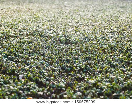 Watercress sprouting in a large field in a greenhouse