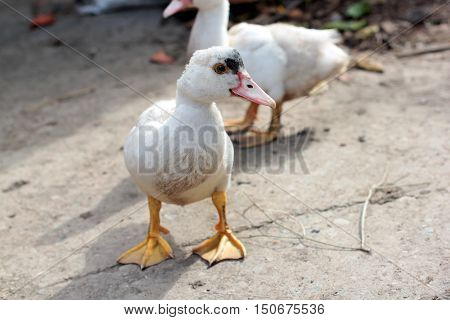 Gooses walk the earth /domestic cattle in Russia / poultry from the village
