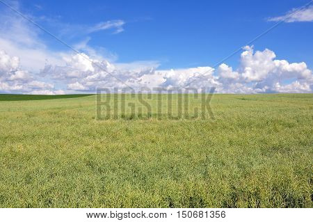 Agricultural green ripe colza field in perspective in the summer on a background of blue sky with clouds.