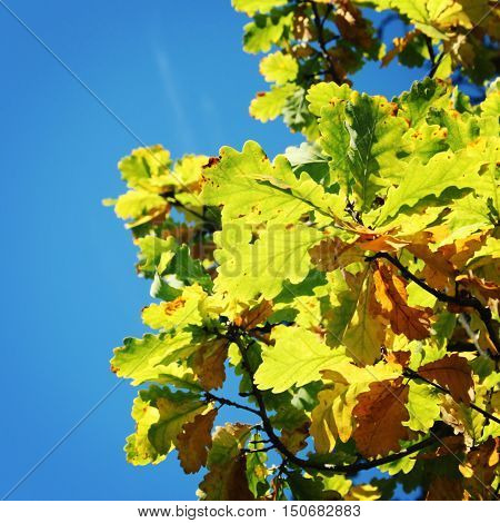 Oak tree leaves. Autumn on Valaam island. Aged photo. Yellow and green leaf color. Text frame with copy space. Retro filter photo. Valaam island Karelia Russia.