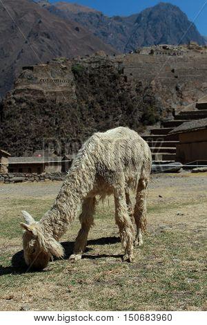 Peruvian llamas at Inca city of Saqsaywaman Cusco Peru