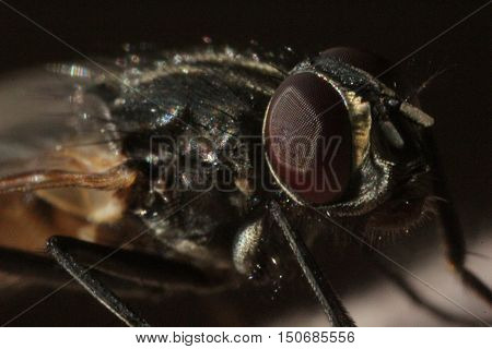 insects, animals, fly, eyes, eyes, flies, Diptera, Synanthropic flies, arthropods