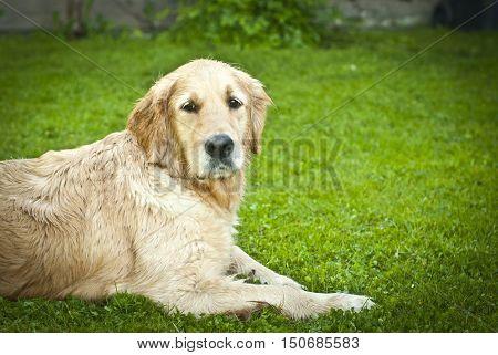 Wet adult dog golden retriever lying on the grass. Portrait. Selective focus.