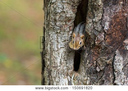 Eastern Chipmunk (Tamias), smallest member of the squirrel family comes comes out of hiding in his hole in a maple tree.