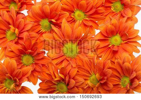 The background image of the orange chrysanthemum flowers