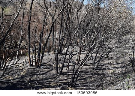 Charcoaled landscape including burnt trees at a forest caused from a wildfire taken in Cajon, CA