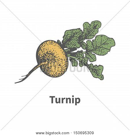 Vector illustration doodle sketch hand-drawn ripe yellow turnip with tops. Isolated on white background. The concept of harvesting. Vintage retro style.