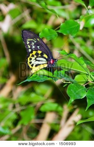 Richmond Birdwing Butterfly