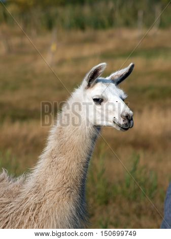 The llama (Lama glama) in a pasture.