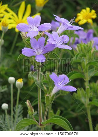 Purple Flowers, With Green And Yellow Vegetation In Back Ground