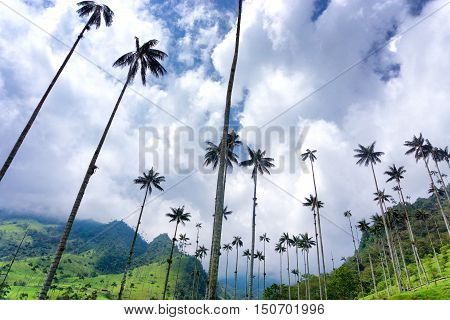 Looking up at beautiful wax palm trees and a partly cloudy sky in Cocora Valley near Salento Colombia