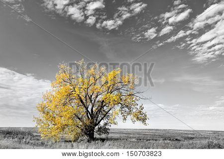 One tall tree with yellow autumn leaves in selective color under sky dotted with a few clouds in rural black and white landscape