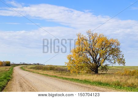 One tall tree with yellow leaves beside a curving gravel road in rural saskatchewan landscape