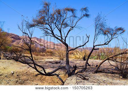 Burnt Sagebrush taken after the Blue Cut Fire in Cajon, CA