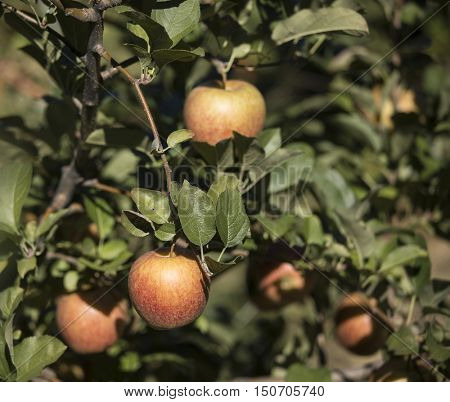 Fresh apples on the tree in an orchard