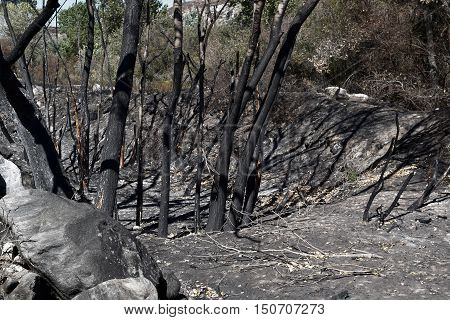 Charcoaled landscape including burnt trees taken after the Blue Cut Fire in Cajon, CA